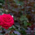 43YEG【秋バラ:ハッピー・ルビー・ウェディング】