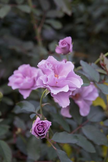 48YEG【秋バラ:紫の園】