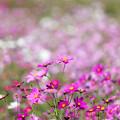 Photos: 08昭和記念公園【花の丘のコスモス】1
