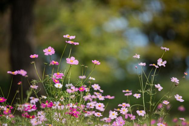 09昭和記念公園【花の丘のコスモス】2