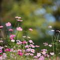 Photos: 09昭和記念公園【花の丘のコスモス】2