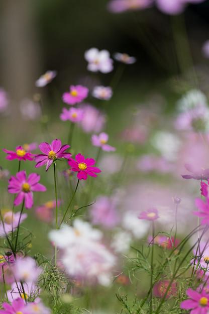 Photos: 12昭和記念公園【花の丘のコスモス】5