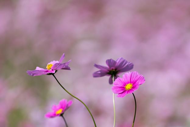 13昭和記念公園【花の丘のコスモス】6