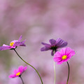 Photos: 13昭和記念公園【花の丘のコスモス】6