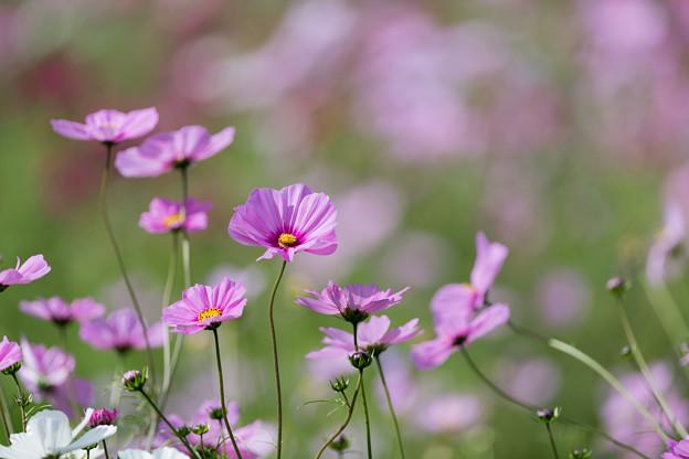 14昭和記念公園【花の丘のコスモス】7