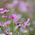 Photos: 14昭和記念公園【花の丘のコスモス】7