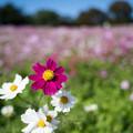 15昭和記念公園【花の丘のコスモス】8
