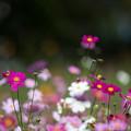 10昭和記念公園【花の丘のコスモス】3