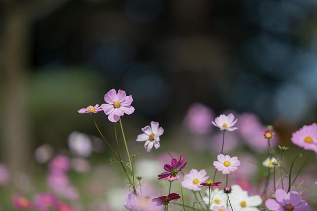 11昭和記念公園【花の丘のコスモス】4