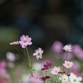 Photos: 11昭和記念公園【花の丘のコスモス】4
