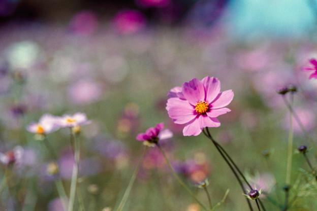Photos: 18昭和記念公園【花の丘のコスモス】3銀塩NLP