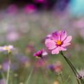 18昭和記念公園【花の丘のコスモス】3銀塩NLP