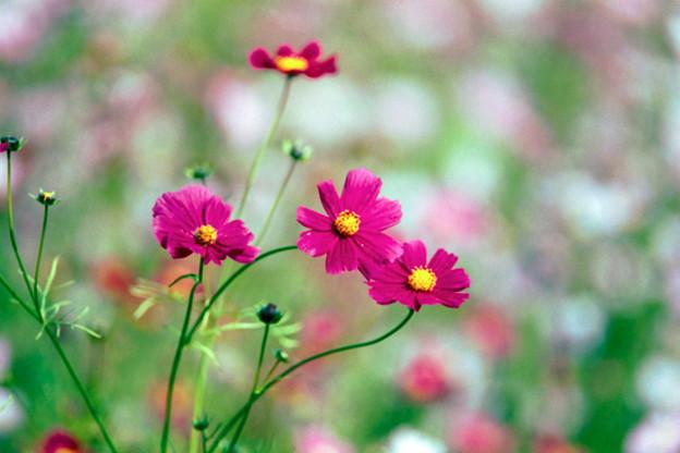 Photos: 20昭和記念公園【花の丘のコスモス】5銀塩NLP