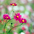20昭和記念公園【花の丘のコスモス】5銀塩NLP