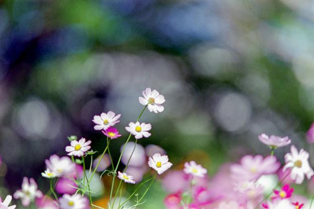 16昭和記念公園【花の丘のコスモス】1銀塩