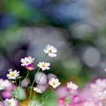 Photos: 16昭和記念公園【花の丘のコスモス】1銀塩