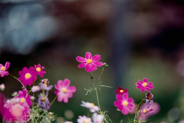 19昭和記念公園【花の丘のコスモス】4銀塩NLP