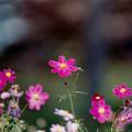 Photos: 19昭和記念公園【花の丘のコスモス】4銀塩NLP