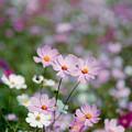 17昭和記念公園【花の丘のコスモス】2銀塩NLP