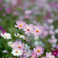 Photos: 17昭和記念公園【花の丘のコスモス】2銀塩NLP