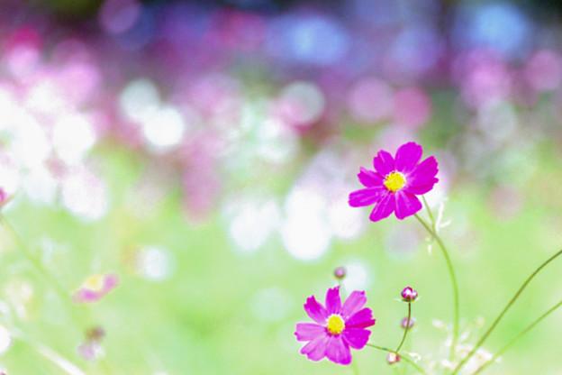21昭和記念公園【花の丘のコスモス】6銀塩