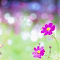 Photos: 21昭和記念公園【花の丘のコスモス】6銀塩