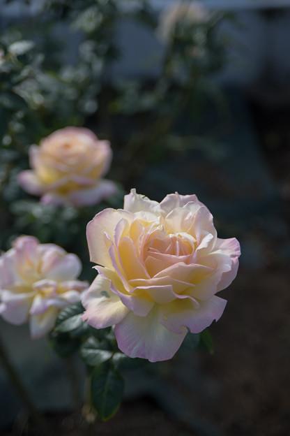 08生田緑地ばら苑【秋バラ:ピース】3