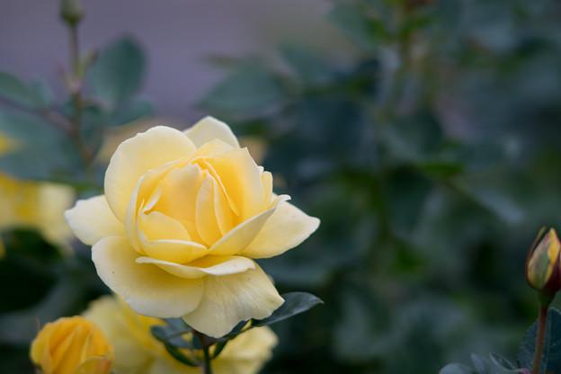 15生田緑地ばら苑【秋バラ:伊豆の踊子】5