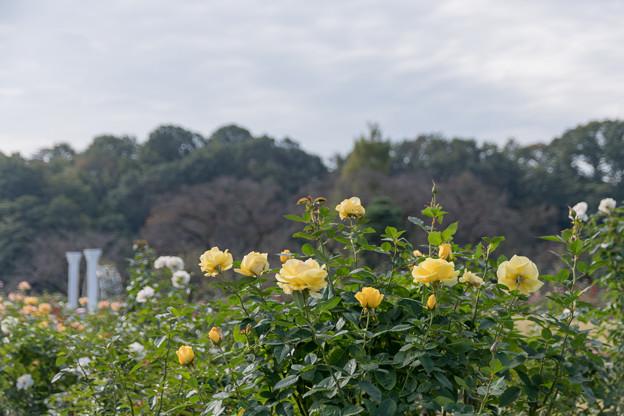 11生田緑地ばら苑【秋バラ:伊豆の踊子】1