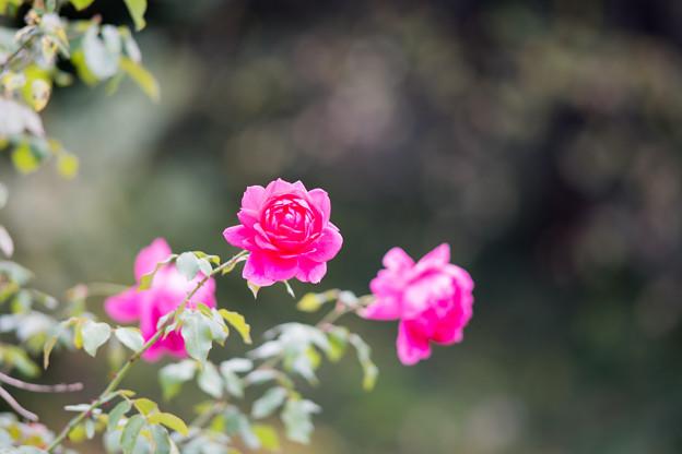 58生田緑地ばら苑【秋バラ:パレード】1