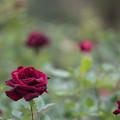 78生田緑地ばら苑【秋バラ:黒真珠】
