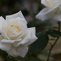 Photos: 82生田緑地ばら苑【秋バラ:パスカリ】