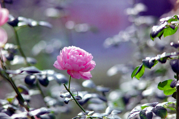 Photos: 89生田緑地ばら苑【秋バラ:セプタード・アイル】銀塩