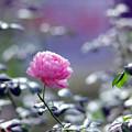 89生田緑地ばら苑【秋バラ:セプタード・アイル】銀塩