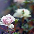 Photos: 93生田緑地ばら苑【秋バラ:ニュー・ウェーブ】銀塩