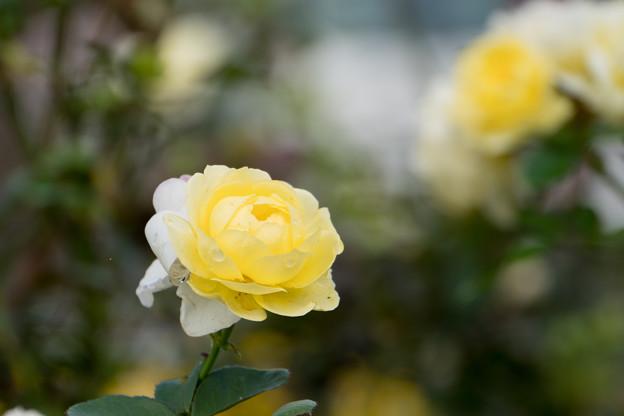 13小田原FG【秋バラ:ゴールデン・ボーダー】6