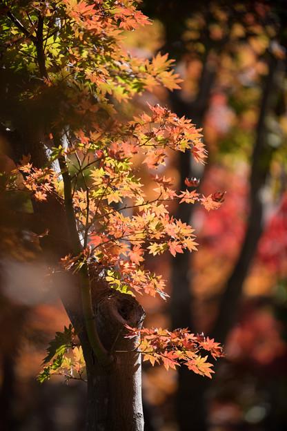 22昭和記念公園【日本庭園:紅葉の様子】15