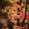 Photos: 22昭和記念公園【日本庭園:紅葉の様子】15