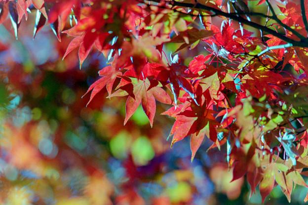 Photos: 25昭和記念公園【日本庭園:紅葉の様子】22銀塩