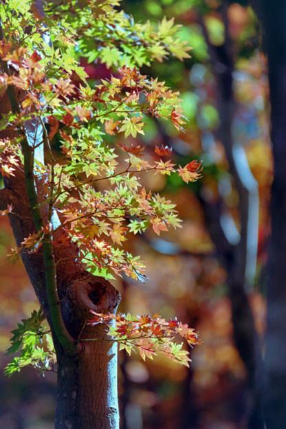 26昭和記念公園【日本庭園:紅葉の様子】23銀塩