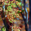 Photos: 26昭和記念公園【日本庭園:紅葉の様子】23銀塩