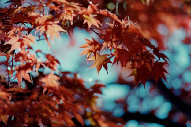 27昭和記念公園【日本庭園:紅葉の様子】24銀塩NLP