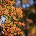 Photos: 20昭和記念公園【日本庭園:紅葉の様子】13
