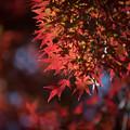 Photos: 35昭和記念公園【渓流広場沿いのイロハモミジ】1