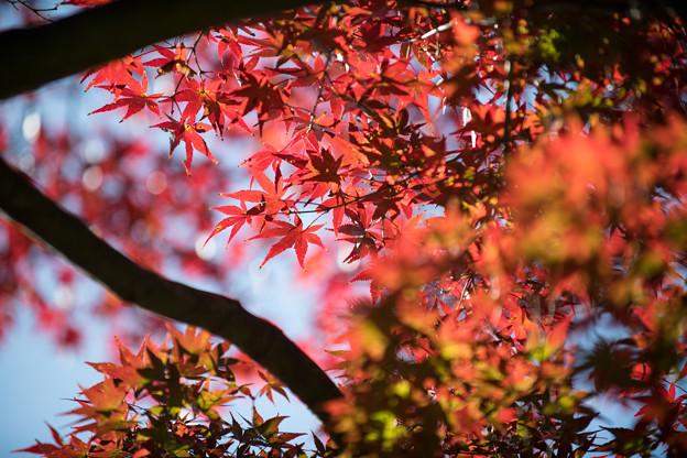 36昭和記念公園【渓流広場沿いのイロハモミジ】2