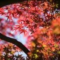 Photos: 36昭和記念公園【渓流広場沿いのイロハモミジ】2