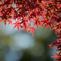 37昭和記念公園【渓流広場沿いのイロハモミジ】3