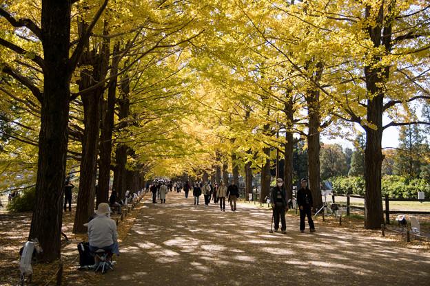 32昭和記念公園【かたらいのイチョウ並木】