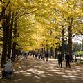Photos: 32昭和記念公園【かたらいのイチョウ並木】