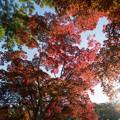 Photos: 19薬師池公園【菖蒲田右側の紅葉】21